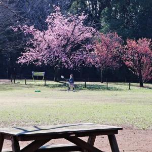 花散歩 大寒桜