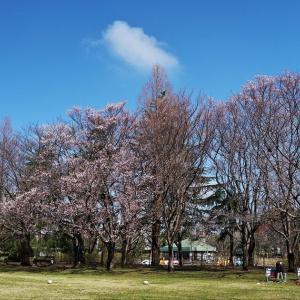 花散歩 小彼岸桜