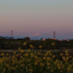 朝の菜花 紅富士