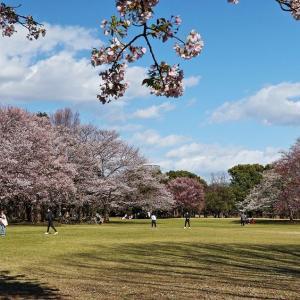 柏の葉 桜見散歩