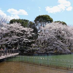 ボート池 水彩の桜