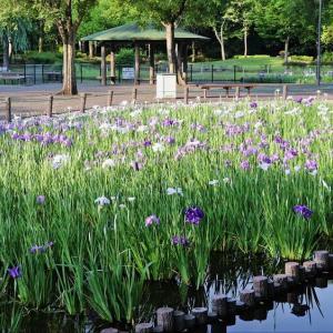 水植園 花菖蒲