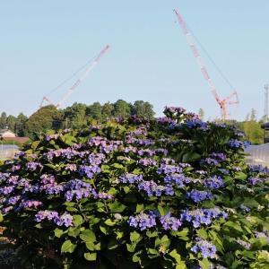 身近な 紫陽花
