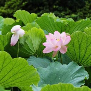 密な立葉に 可憐な花