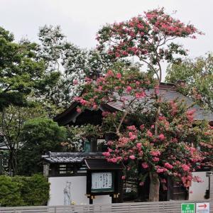 本行寺の 百日紅