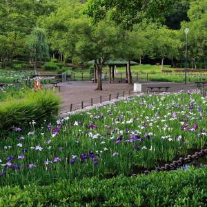 水生植物園 花菖蒲