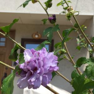 八重咲きムクゲ。