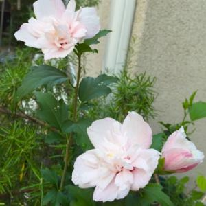 ムクゲ  ピンクデライトが咲きました!