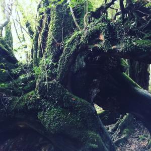 【お知らせ♪】屋久杉を身につけて悠久のガイアの叡智と共に歩む