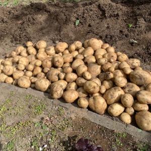 男爵芋の収穫とチキン・ティッカ・マサラ