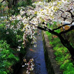 千川上水の鯉と、悲しいほどお天気