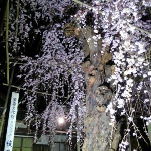 う、嬉しすぎること・・・と、千手院のしだれ桜