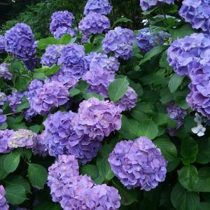 なぜ腰が痛いのかわかったの。雨の月照寺、紫陽花が見頃✨