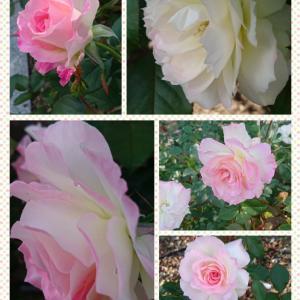 rose♡