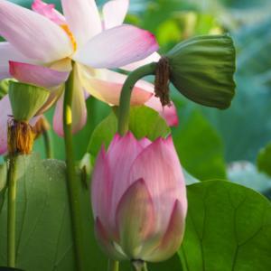丹波篠山の蓮の花