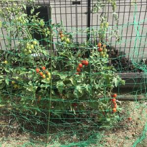 今年の家庭菜園。