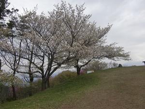 山頂桜の満開は平日だったようです