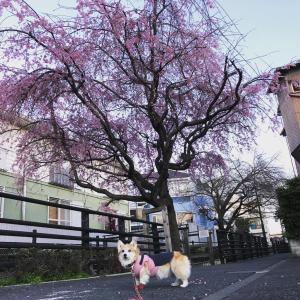 洗足流れの桜2021