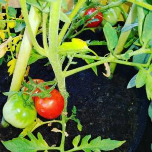 トマトがすくすく育ってます☆まだ茎にひっついてる状態のトマト見るの好きなんです(笑)なんか頑張っ