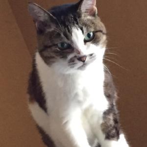 猫の花ちゃん太らせ計画