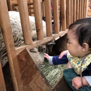 孫と羊当番