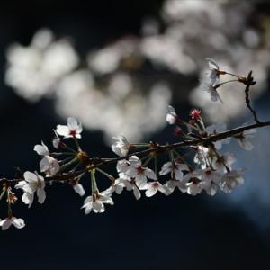 動く特攻桜