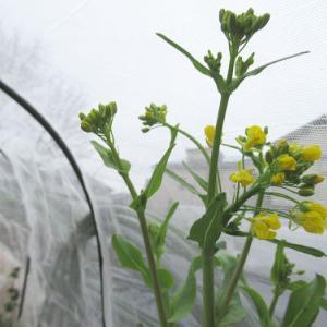 農園の様子3/8~花とか蕾とか、要するにトウ立ち野菜たち(爆)