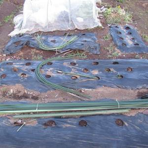 春野菜の準備、というか冬野菜の撤去作業