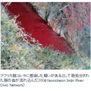 アフリカ豚コレラ感染の4万7000頭分の血液 韓国北部の川に流出