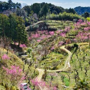 敷地里山公園の花桃  122
