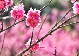 敷地里山公園の花桃  133