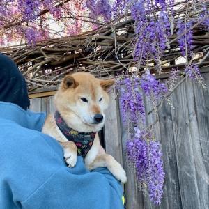 藤の季節、亡き愛犬を偲ぶ