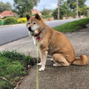 オーストラリアの忠犬(?)ジェシー公