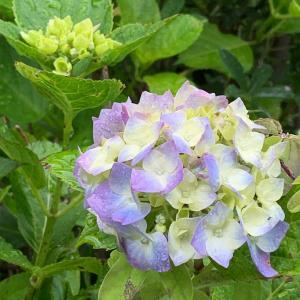 涼やかな紫陽花