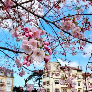 バスクの桜とビルバオのピンチョス【バスクVlog】