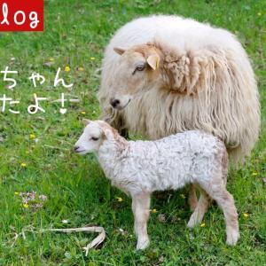 羊の赤ちゃんが生まれたよ!【バスクVlog】