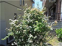 コテマリ わが家の庭