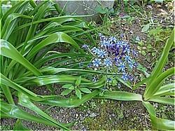 ハマユウ わが家の庭