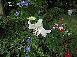 カサブランカ わが家の庭
