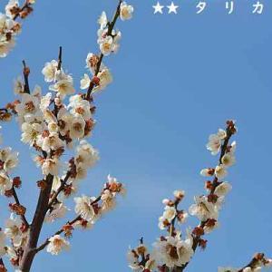 御幸公園観梅会で梅の花を撮る