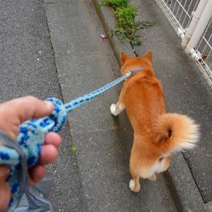 柴犬のお散歩で見た光景