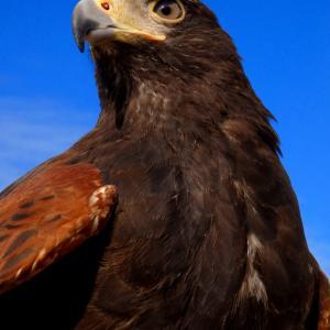 猛禽類は人を襲いません 人を食べません