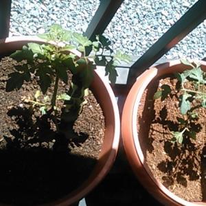 ミニトマト 育つ!
