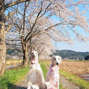 4月4日の、毎年の桜♪