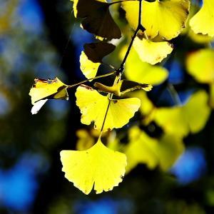 都心の黄葉