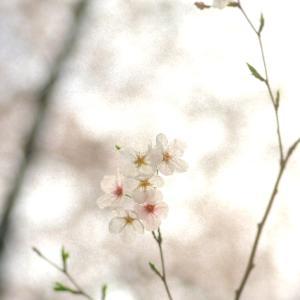 散りゆく花を惜しむ