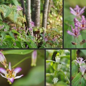 ホトトギスの花が沢山咲いています!