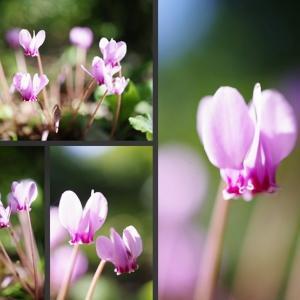 今日の庭の草花 原種シクラメン(へデリフォリウム)が咲き始めました!