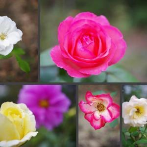 今日の庭の薔薇の花達です!