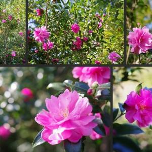 今日の庭の花 山茶花等が綺麗に咲いています!